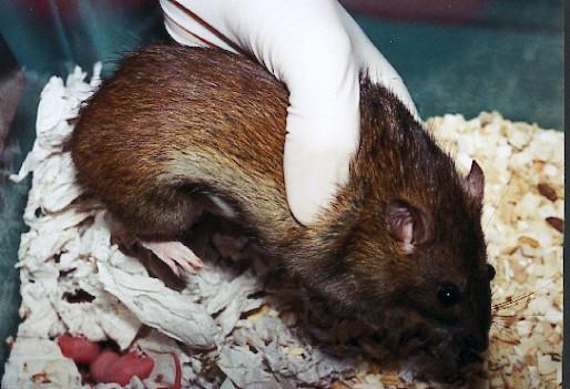 Cross-fostering technique in the rat
