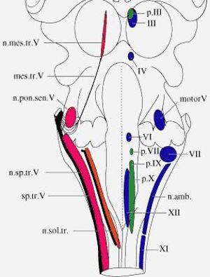 Cranial Nerve Nuclei 1 2