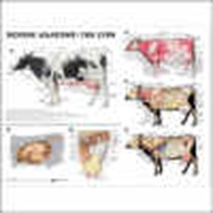 Bovine anatomy the cow anatomical chart ccuart Images