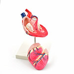 Anatomical Canine Heart Model (Hundeherz-Modell)
