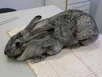 Rabbits may be restrained using a lab coat, thick towel or cloth which is wrapped around the animal, thereby giving a sense of security. Rabbits do not like being left in open places.