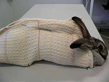 In this example the rabbit is restrained using a loosely woven cloth which is held in place using a blunt knitting needle.