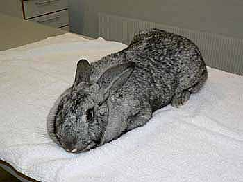 In this example an ordinary bath towel is used to wrap the rabbit tightly.