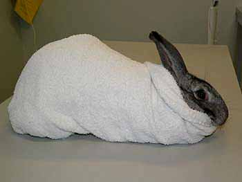 The towel should be tucked under the rabbit's hindquarters so that the animal cannot wriggle backwards out of the towel.