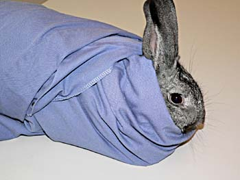 Rabbit restraint using a laboratory coat.