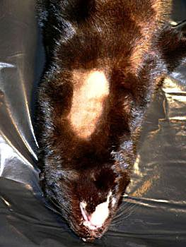 The mink is placed on its back in general anaesthesia and the area over the jugular vein is shaved and disinfected.