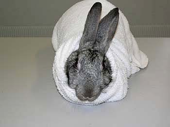 The rabbit is retrained in a thick towel or lab coat that is wrapped around the body, and folded under its abdomen. It will relax more if it is wrapped fairly tightly.