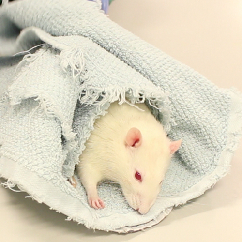 Rats (and rabbits and guineapigs) often seem to relax more if they are wrapped relatively tightly in cloths, perhaps because this simulations conditions they are used to in cramped underground quarters.