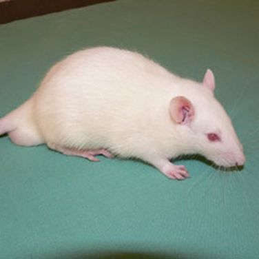 Rats are intelligent and sociable creatures that respond well to gentle handling.