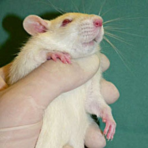 Rats will often relax if the abdomen is massaged gently. Speak quietly and avoid high-pitched noises.