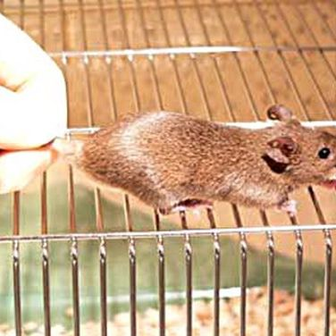 Begin by setting the mouse on a cage top or other surface on which it can get a grip.