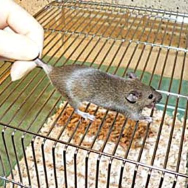 Begin by placing the mouse on a cage top or orther surface on which it can get a grip.