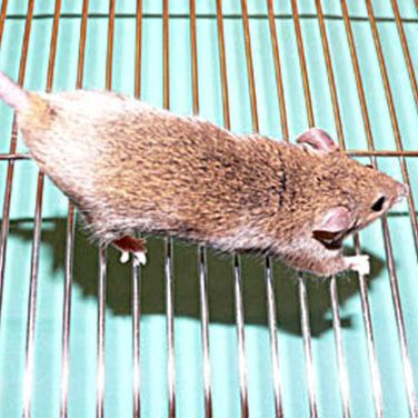 Place the mouse on a surface where it can gain a foothold, and stretch the animal out by applying gentle traction to the tail.