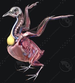 Bird Anatomy (Pigeon)