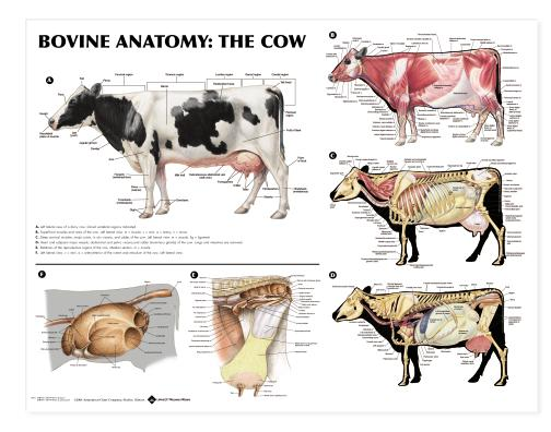 9433?width=300 bovine anatomy the cow anatomical chart